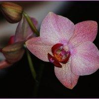 фаленопсис Орхидея. :: Наталья Vorobjeva
