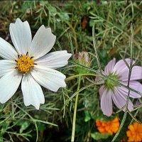 Я люблю, когда цветут космеи... :: Нина Корешкова