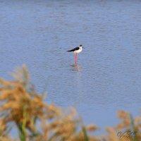 птичка на озере :: Наталья Волкова