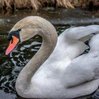 Лебедь :: Андрей Коротеев