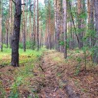 В сосновом лесу :: Валерий Судачок