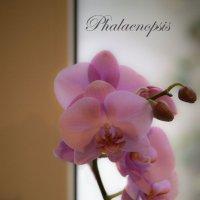 Фаленопсис орхидея :: Наталья Vorobjeva