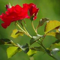 Роза :: Jeanne B