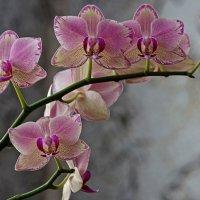 Орхидея фаленопсис Маленькая Каролина :: Ирина Приходько