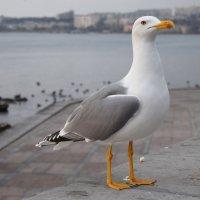 Гордая чайка :: Zinaida Belaniuk