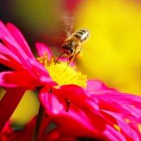 пчелка :: Сергей Корейво