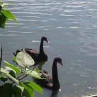 Черные лебеди :: Елена Семигина