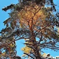 Пахнут ветви солнцем и хвоёй... :: Лесо-Вед (Баранов)