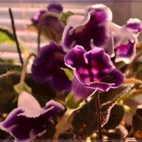 Цветение глоксинии :: galina tihonova