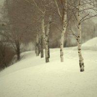 березки милые :: Ильгам Кильдеев