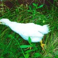 Познающий цыплёнок :: Владимир Ростовский