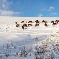 На зимнем пастбище :: Юрий Сименяк