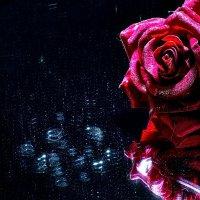 Роза :: Марина Кириллова