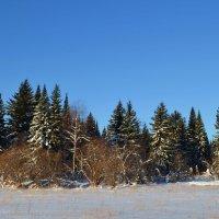 Сибирские елочки :: Вера Андреева