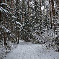В лес по лыжне. :: Алексей Caveman