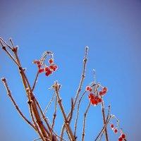 Калина-ягода :: Анна Никонорова
