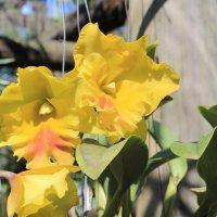 Жёлтые орхидеи :: Vladimir 070549