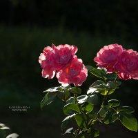 Нежность роз.. :: Ирина Котенева