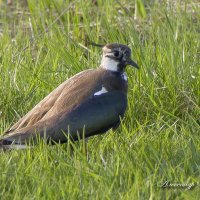 Чибис, или пигалица (Vanellus vanellus) - птица семейства ржанковых :: Александр Шатров