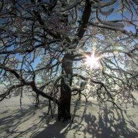 Солнце и дуб :: Константин Филякин