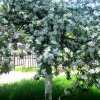 яблоня в цвету :: Елена Семигина