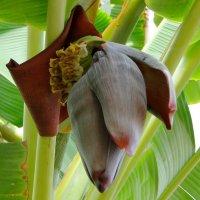 Цветок банана. :: Елена Шемякина