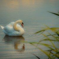 Лебедь :: Олег Фиедориенко
