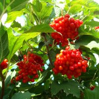 Калиновые грозди :: Стас Борискин