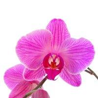 Орхидея :: Дарья Подолянець