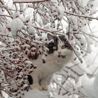 Снежный кот... :: Елена Васильева
