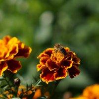 Пчелка :: валерия огородник
