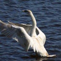 Лебедь :: Валентина