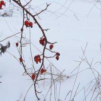 Красное на белом. :: Маргарита ( Марта ) Дрожжина