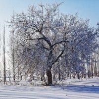 Пушистое дерево :: Татьяна Губина