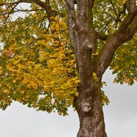 Осенний клён :: Алексей Шаповалов Стерх