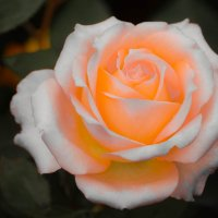 Монастырская роза :: Олег Фиедориенко