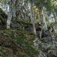 И на камнях растут деревья :: Владимир Бедак