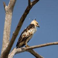 Сафари в национальном парке Удавалаве. Хохлатый орёл. :: Edward J.Berelet