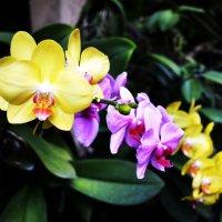 Орхидеи :: Венера Чернышова