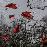 красные птицы пасмурным днем :: Александр Бритшев