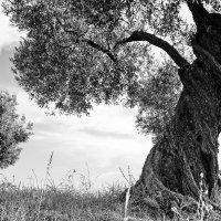 старое дерево :: Сергей Комолов