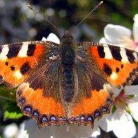 Бабочка Крапивница :: оля san-alondra