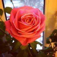 Роза :: Елена Каталина