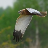 Зверь с крыльями (лунь болотный) :: sergej-smv