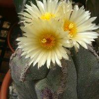 Все кактусы разные и все цветут красиво!!! :: Герович Лилия