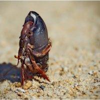 Отлив на океане...краб - отшельник покидает свое жилище,дабы найти более уютное.Гоа,Индия.. :: Александр Вивчарик