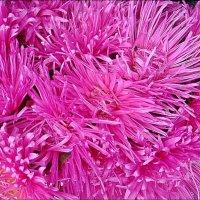 Розовые реснички :: Нина Корешкова