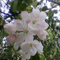 Яблони в цвету :: Миша Любчик