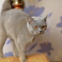 Строгий кот. :: Раскосов Николай