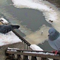 голуби :: Татьяна Осипова(Deni2048)